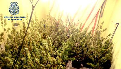 Desmantelada una plantación de marihuana en Calera y Chozas
