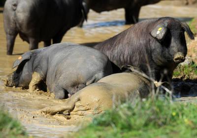 En defensa de la esencia del cerdo ibérico