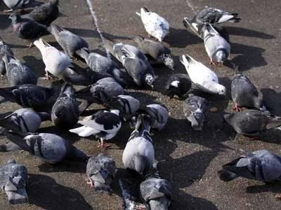 Más de 62.000 euros para desratización y control de palomas en las calles