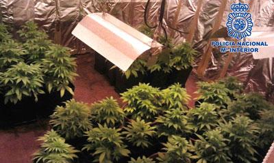Desmantelan un centro de cultivo de marihuana en Talavera la Nueva
