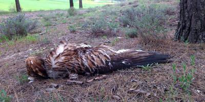 Masacre de aves rapaces protegidas y veneno en Arcicollar