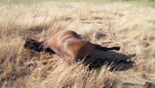 Denuncia contra el maltrato animal tras la muerte de una yegua preñada