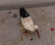 Dos mujeres encuentran una cigüeña con una pata dañada en su patio de la calle Portiña del Salvador en Talavera