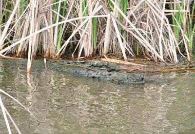Las instituciones niegan la existencia del cocodrilo en las aguas de Cazalegas