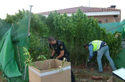 Desmantelada una plantación de marihuana en una urbanización de Talavera