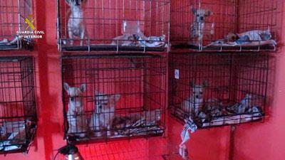 La Guardia Civil interviene 400 cachorros de perro en el mes de diciembre en varias operaciones en Zaragoza, Málaga, Sevilla, Toledo y Burgos
