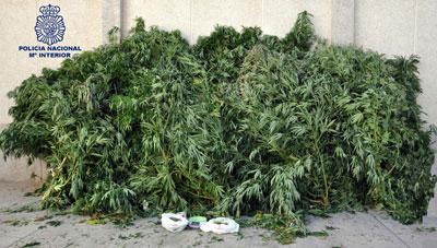 Desmantelada una importante plantación de marihuana en Daimiel