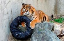 Un zoológico japonés vende vaqueros 'diseñados' por tigres y leones