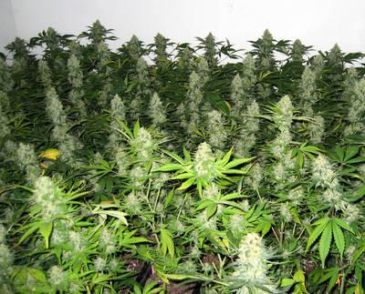 Detenidos en Torrijos con 17 plantas de marihuana