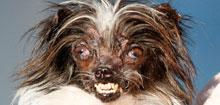 'Peanut' recibe el premio al perro más feo del mundo