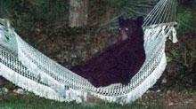 Un oso entra en una residencia para descansar en una hamaca