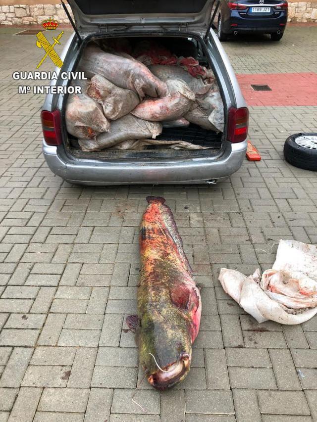 Intervenidos en Torija (Guadalajara) una treintena de siluros y carpas que transportaban en un vehículo