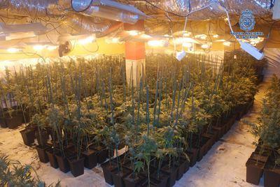Desmantelado un laboratorio clandestino de cultivo de marihuana con 2.618 plantas