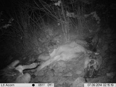 Investigadores de la UCLM registran por primera vez en el mundo buitres leonados alimentándose de noche