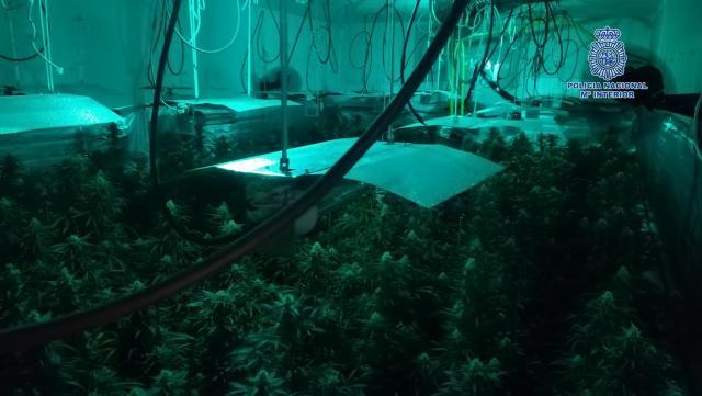 Desmantelado en Talavera un laboratorio de marihuana con 305 plantas