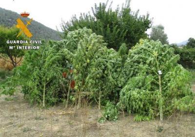 Intervienen 13 plantas de marihuana de 91 kilogramos en un maizal
