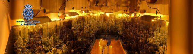 Desmantelados cinco laboratorios clandestinos e incautadas casi 3.000 plantas de marihuana