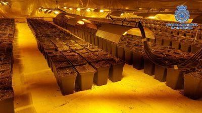 Un detenido por cultivar más de 1.100 plantas de marihuana en una nave próxima a Talavera (IMÁGENES)