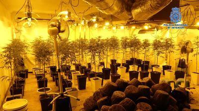 Cultivaba 547 plantas de marihuana dentro de una vivienda en Toledo