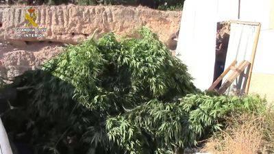 Un detenido y dos investigados por el cultivo de casi 500 plantas de cannabis