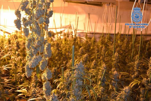 Más marihuana: desmantelados tres laboratorios clandestinos en la provincia de Toledo