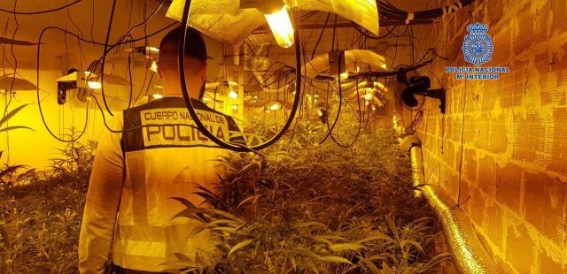 Dos detenidos y 200 plantas de marihuana incautadas en Pepino