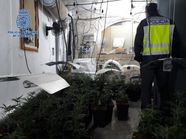 230 PLANTAS | Desmantelan un cultivo ilegal de marihuana oculto en una casa de Velada