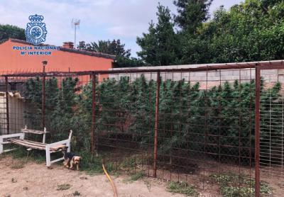 ÚLTIMA HORA   Cuatro plantaciones de marihuana en Gamonal y fincas de Talavera