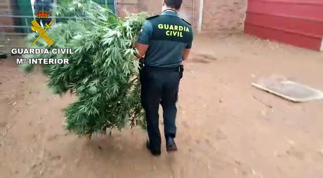 GUARDIA CIVIL   18 detenidos en una operación contra el cultivo y venta de marihuana