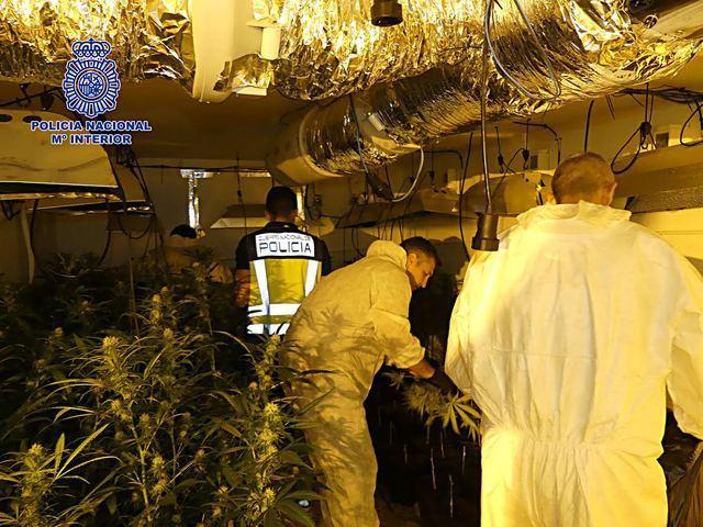 La Policía Nacional desmantela una plantación de más de 800 plantas de marihuana