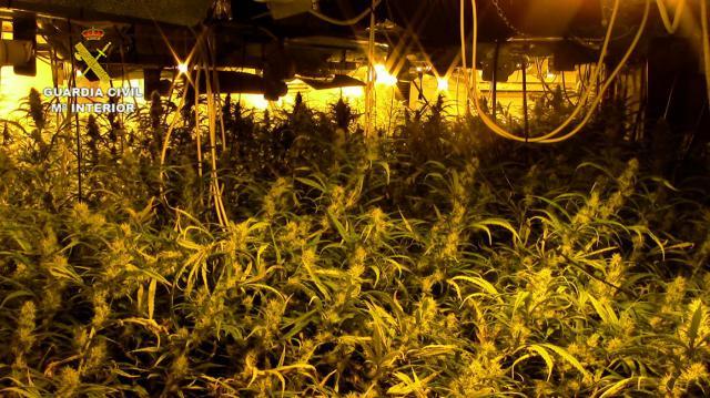 MARIHUANA | Desmantelan dos plantaciones con casi 3.000 plantas en Santa Olalla