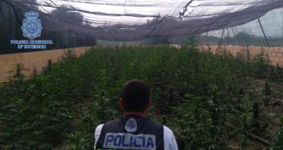 TALAVERA COMARCA   La Policía Nacional incauta 2.900 plantas de marihuana en dos operaciones