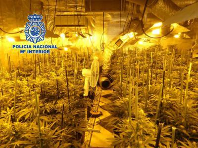 EL CASAR DE ESCALONA | Desmantelan dos plantaciones con más de 2.000 plantas de marihuana