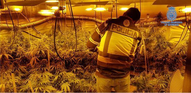 Desmantelado un nuevo laboratorio clandestino de marihuana en Pepino