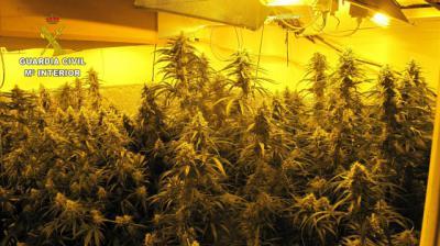 ¡Otra plantación de marihuana! Más de 250 plantas en Los Navalmorales