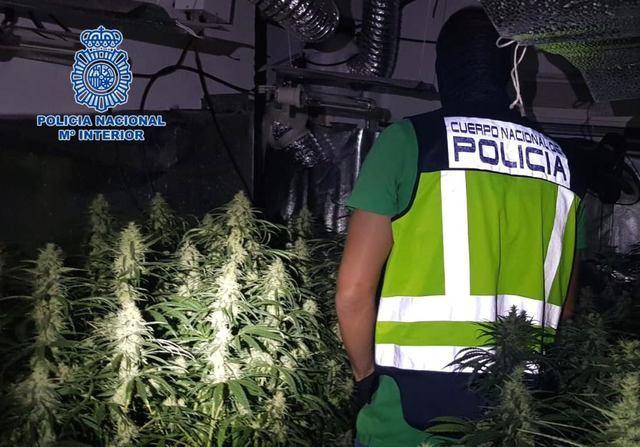 Detenidos en Talavera tres miembros de una misma familia por cultivar 1.300 plantas de marihuana
