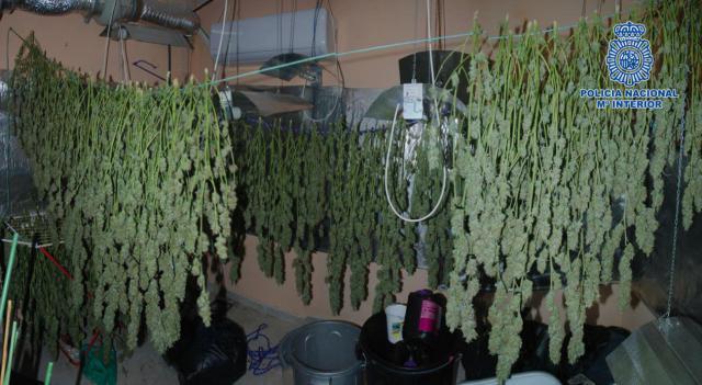 Tres detenidos acusados de cultivar 276 plantas de marihuana en una vivienda