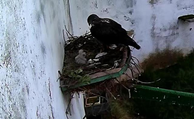 NATURALEZA   Nacen dos pollos de águila perdicera en CERI de Sevilleja de la Jara