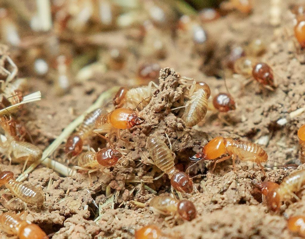Identificación de termitas: ¿Cómo son las termitas?