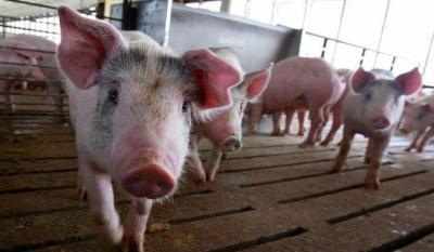 CLM no autorizará ninguna granja porcina que no venga avalada por los ayuntamientos
