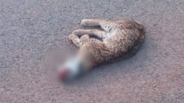 Nuevo atropello mortal de un lince en las carreteras de CLM