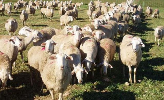 Ayudas a la ganadería extensiva de ovino y caprino por valor de 2,8 millones de euros
