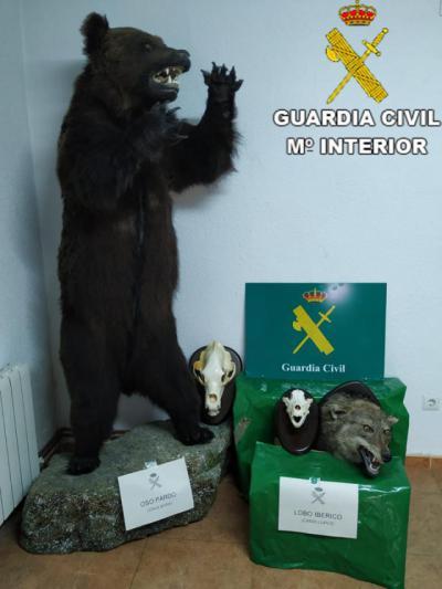 EN UN PUEBLO DE TOLEDO | Investigado por tener un oso pardo y una cabeza de lobo ibérico disecados