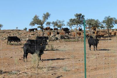 Presentan dos ofertas a la venta del ganado que quedaba en la finca 'El Borril'