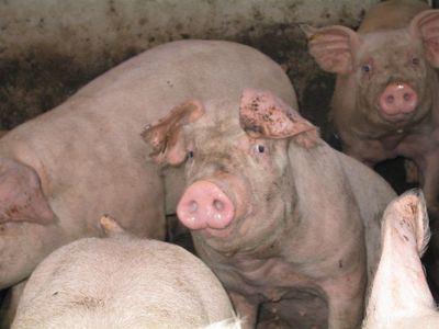 Macrogranjas porcinas