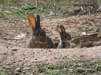 ASAJA se reúne con el secretario de estado de infraestructuras para buscar soluciones los daños causados por los conejos