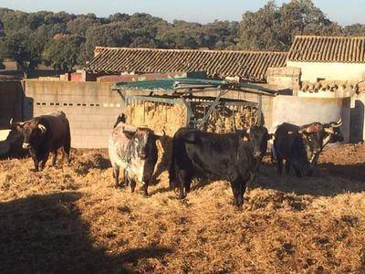 Las reses de Peñajara deleitan a los amantes taurinos en Cenicientos