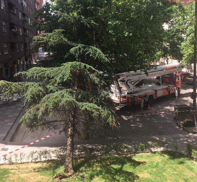 Cae un árbol de 13 metros de altura junto a un colegio de Talavera