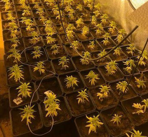 Detenido por cultivar 331 plantas de marihuana
