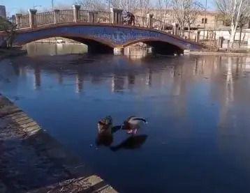 VÍDEO | Heladas en Talavera: cuando los patos de La Alameda caminan por el agua